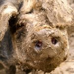 Insulter un humain de porc, pour mieux violenter le porc
