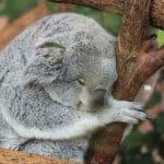 """<span style='color: crimson;font-size:0.75em;font-weight:600;font-family:Muli; padding:0px'><span style=""""color : red"""";font-size: larger;><i class=""""fas fa-biohazard""""></i> </span>Nihilisme politique</span>Extinction progressive des koalas d'Australie"""